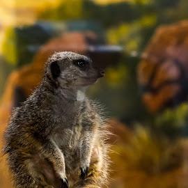 Meerkat 2 by John Guest - Animals Other ( miller park, zoo, exported, meerkat, animal )