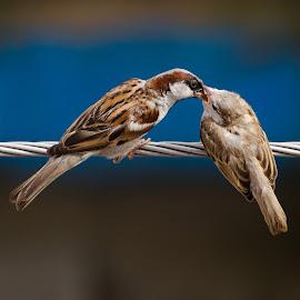 Feeding Sparrow by Debashis Mohapatra - Animals Birds ( housesparrow, wildindia, birds, sparrow )