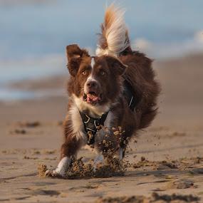 quickstop at the beach by 'Monique Smit - Animals - Dogs Running ( , animal, strange, weird, breed, cat, dog, pet, wild, mutt )