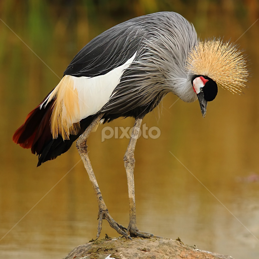 Grue royale du Sénégal by Gérard CHATENET - Animals Birds (  )