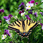 Tiger among the Johnnies by Dorothy Koval - Animals Insects & Spiders ( tiger swallowtail, among flowers, patterned, pwcinsectsandspiders, butterfly, butterflies, nectar, pansy, johnny-jump-up, seeking, viola, swallowtail )
