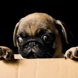 Pug in a box by Jeremy Mendoza - Animals - Dogs Puppies ( puppy, dog, puginabox, portrait, pug, animal )