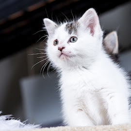 Young Warrior by Lawrence Burry - Animals - Cats Kittens ( cat, playful, furry, little, cute, paw, pets, fur, baby, feline, kitty, photo by: l. burry, animal, kitten, animals, beautiful, white, funny, fun, young, tail, domestic, mammal, portrait, pet, whisker, adorable, small )