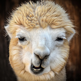 Alpaca by Dawn Hoehn Hagler - Animals Other Mammals ( wildlife world zoo, zoo, arizona, alpaca, lithcfield park )