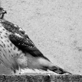 Urban Warrior by A Winston - Novices Only Wildlife ( bird, birds of prey, talons, birds, hawk )