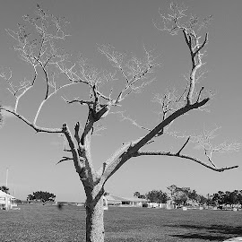 Tree by Keith Heinly - Black & White Flowers & Plants ( sky, tree, park, florida, titusville )