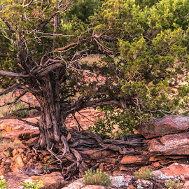 Old Oklahoma Tree by Kathy Suttles - Nature Up Close Trees & Bushes