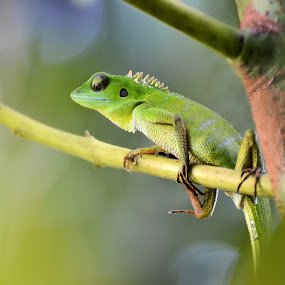CHAMELEON by Wira Agt - Novices Only Pets ( lo, cham, ng, ny, bu )