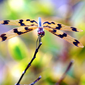 Dragonfly by Joanne Draper - Novices Only Macro ( macro, wildlife, dragonfly )