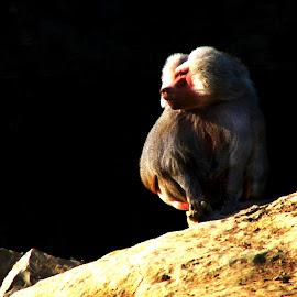 chief by Mickael Lambert - Digital Art Animals ( chief, baboon )