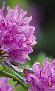 Rhododendron Jigsaw Puzzles - screenshot