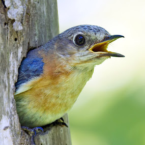 Eastern Bluebird by Herb Houghton - Animals Birds ( wild, nest hole, herbhoughton.com, songbird, tree cavity, natural, eastern bluebird )