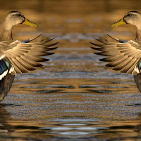 mirror by Yuval Shlomo - Digital Art Animals ( mirror, bird, animal, lakes, lake )