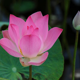Lotus by Jeremy Mendoza - Flowers Flowers in the Wild ( nature, lotus, vietnam, flower, lotus_flower,  )