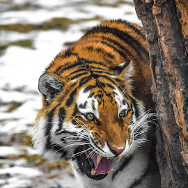 On the prowl by Michelle Predinchuk - Animals Lions, Tigers & Big Cats ( cat, siberian tiger, tiger, growl, large cat,  )