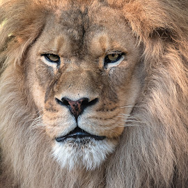 African Lion by Kathleen Otto - Animals Lions, Tigers & Big Cats