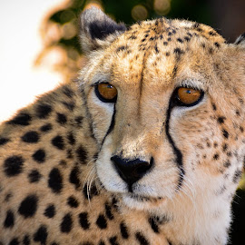 Cheetah by Hannes van Rooyen - Animals Lions, Tigers & Big Cats ( cheetah, cat, speed, male, adult )