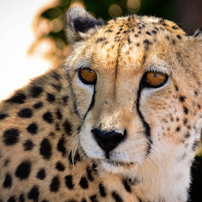 Cheetah by Hannes van Rooyen - Animals Lions, Tigers & Big Cats ( cheetah, cat, speed, male, adult,  )