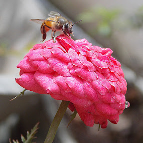 honey pink:) by Anudeep Nethi - Nature Up Close Flowers - 2011-2013 ( bee, flowers, honey )