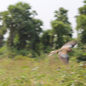 flight shot by Sarath Goparaju - Animals Birds ( nature, pets, street, wildlife, travel )