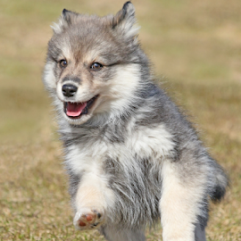 Spring is here! by Mia Ikonen - Animals - Dogs Puppies ( finnish lapphund, happy, finland, fun, running,  )