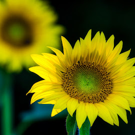 Sunflowers by Valerie Dyer - Flowers Flower Gardens ( flowers )