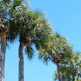 Row of Palms by Kathy Rose Willis - Nature Up Close Trees & Bushes ( blue sky, tree trunks, florida, green, palm trees, trees,  )