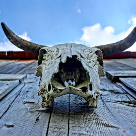 Scared Skull by Barbara Brock - Artistic Objects Other Objects ( bull skull, cow skull, skull, cattle skull, skeleton )