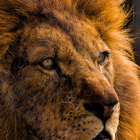 Leo the lion by Steve BB - Animals Lions, Tigers & Big Cats ( lion, ferocious, mane, maneater, deadly, brown, mammal, golden, eyes )