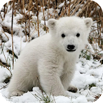 Polar Bear Wallpapers APK Image