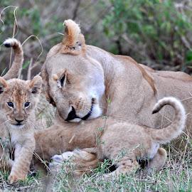 I love my babies by Rajat Sethi - Animals Lions, Tigers & Big Cats ( #lioness #lioncubs #animals #bigcats #wildlife #masaimara #africa )