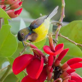 Burung Kelicap Hutan by RiNeo aFnIzAn - Animals Birds