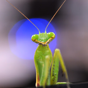 Mantis by Syarief Wiranegara - Animals Insects & Spiders