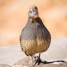 Gambel's Quail by Dave Lipchen - Animals Birds ( gambel's quail )