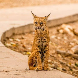 mom bobcat by Todd Wood - Animals Lions, Tigers & Big Cats (  )