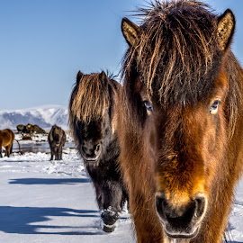 Are you looking at me? by Sigurjon Magnusson - Animals Horses ( hestur snow )
