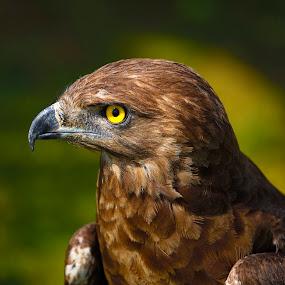 Snake eagle by Johann Fouche - Animals Birds ( snake eagle, bird of prey, eagle, raptor, bird photography )