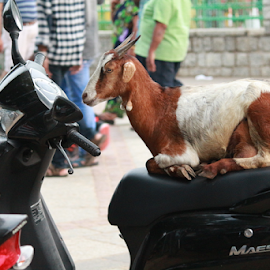 Why should girls have all the fun by Avik Paul - City,  Street & Park  Street Scenes ( amazing, famous, maestro, scooty, riding, goat, street, motorcycle, scene, eid, bakri, animal )