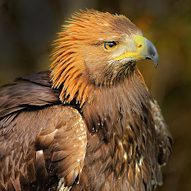 Eagle angry by Gérard CHATENET - Animals Birds
