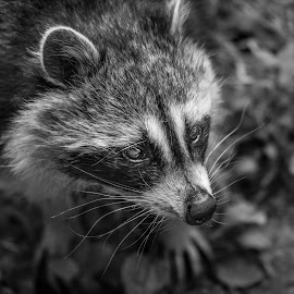 Raccoon by Jack Lewis McClure - Animals Other Mammals ( wild animal, black and white, wildlife, raccoon, close up )