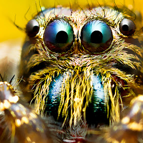 Jumping Spider by ธเนศ ขวยไพบูลย์ - Animals Insects & Spiders ( canon, macro, spider, thanate k.paibool )