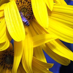 Blue Bee and the Sunflower by ChrisTina Shaskus - Nature Up Close Flowers - 2011-2013 ( macro, nature, gardening, yellow bright sapphire, blue bee, sunflower, gold, insect, garden, floral, flower,  )