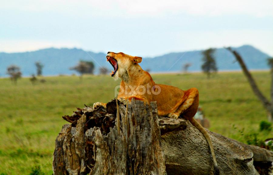 The Lion roars by Sajjad Fazel - Animals Other Mammals ( lion, color, jungle, roar, serengeti )