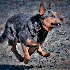I'm Gona catch it! by Sue Delia - Animals - Dogs Running ( play, run, australian cattle dog, dog,  )