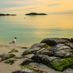 Seagull at the beach by Thomas Sjøen - Landscapes Beaches ( seagull, beach, cost, spring, norway )