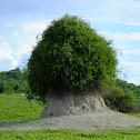 Woolly caper bush on termite mound
