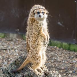 On lookout for stranger danger  by Chris Bennett - Animals Other ( ørlof, ˙amerton, #alexandr, #meerkat, #simples )