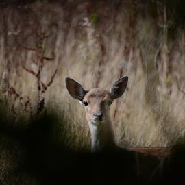 who you looking at by Stan Tracey - Novices Only Wildlife ( watching, calf, wildlife, deer )