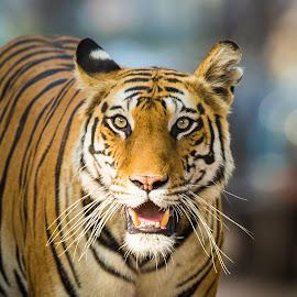 the stare by Rian Van Schalkwyk - Animals Lions, Tigers & Big Cats ( predator, tiger, safari, stare, india )