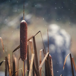 Cattails of winter  by Todd Reynolds - Nature Up Close Other plants